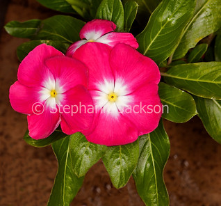 Red flowers of Catharanthus roseus, Madagascar Periwinkle - IMG 7731