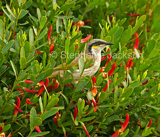 Australian singing honeyeater in flowering shrub - IMG 7564