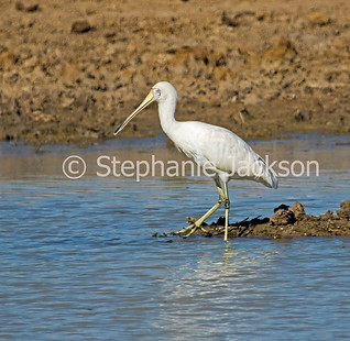 Yellow-billed spoonbill, Platalea flavipes, in outback Australia - IMG 7485