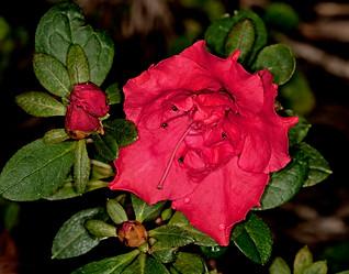 Red flower of Azalea indica 'Goyet' - IMG 2625