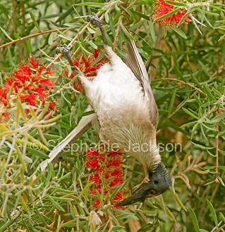 Noisy friarbird with red bottlebrush flowers - IMG 6276