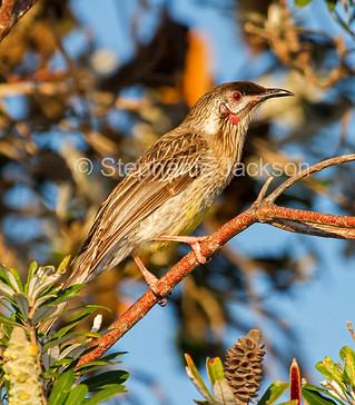 Red wattlebird at Crowdy Bay National Park - IMG 6555