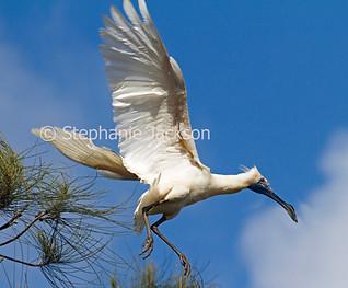 Australian Royal Spoonbill, Platalea regia, in flight - IMG 4689