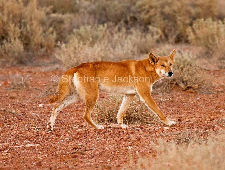 Dingo_in_the_wild_in_Australian_outback_