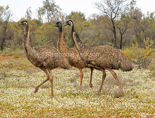 Emus among wildflowers in outback Australia - IMG 0621