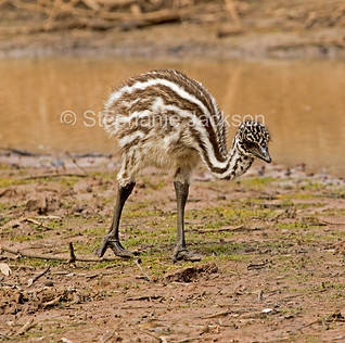 Emu chick beside water in the Australian outback - IMG 0781