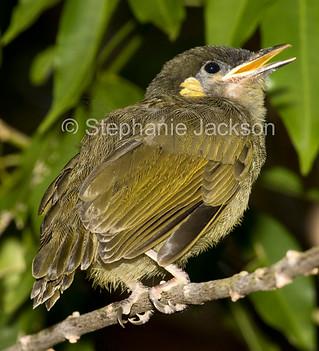 Lewins honeyeater chick in Australia - IMG 9837