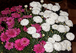 Red and white flowers of Argyranthemum frutescens - IMG 7277