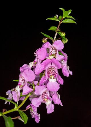Flowers of Angelonia augustifolia - IMG 5869