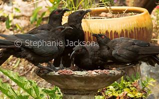 White-winged choughs in garden bird bath - IMG 3386