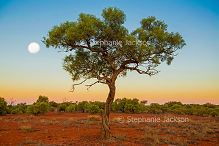 Solitary tree and full moon at dusk in outback Australia - IMG 4166-1