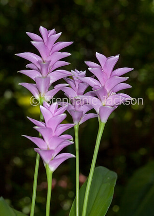 Pink flowers of Curcuma sprangifolia - IMG 3798