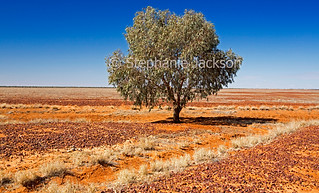 Solitary tree on arid Australian outback plains - IMG 8657