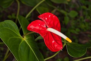 Red spathe of Anthurium andreanum - IMG 4745