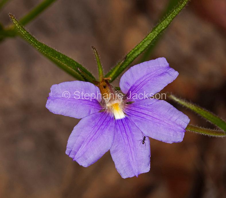 scaevola_ramosissima_purple_fan_flower_M