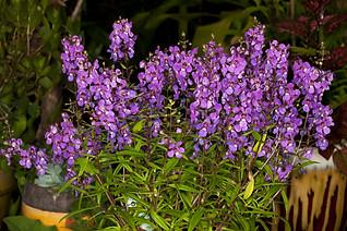 Flowers of Angelonia augustifolia - IMG 9545