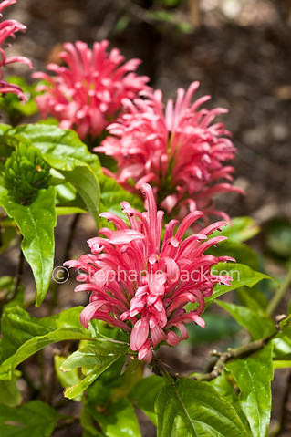 Pink flowers of Justicia carnea, Plume Flower - IMG 3638