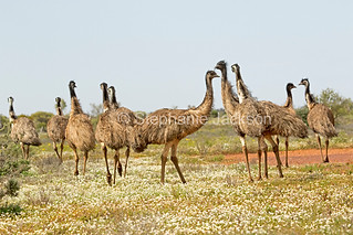 Flock of emus among outback wildflowers - IMG 0661