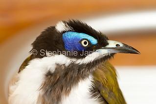 Close-up of Australian blue-faced honeyeater - IMG 6361