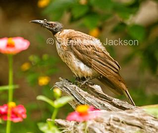 Noisy friarbird, Philemon corniculatus - IMG 3539A