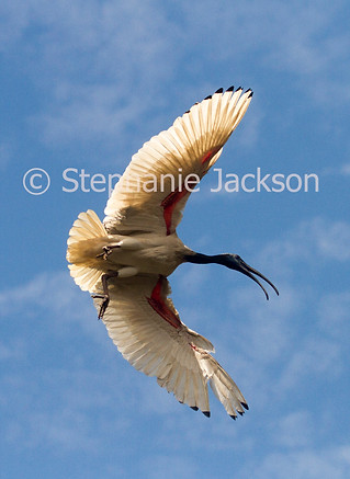 Australian white / sacred ibis in flight - IMG 3491