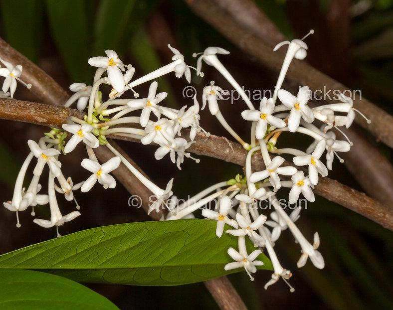 Phaleria_clerodendron_MG_8692.jpg