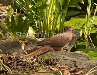 Brown cuckoo-dove,  Macropygia phasianella - IMG 3574