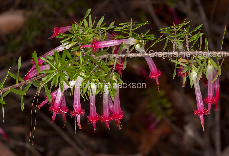 Styphelia_tubiflora_flowers_MG_9792.jpg