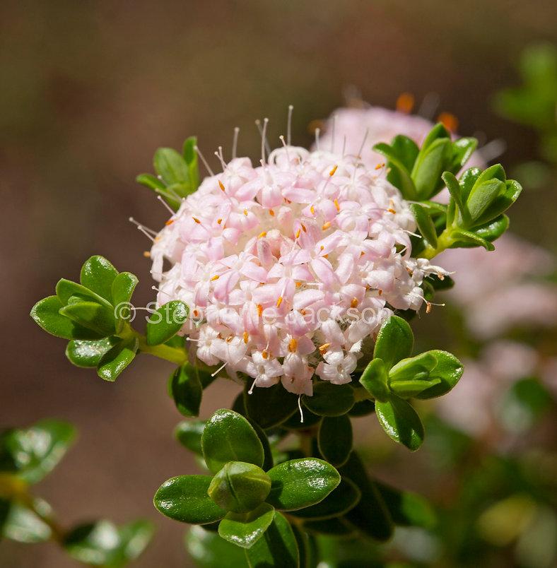 Pimelea_ferruginea_flower_MG_6404.jpg