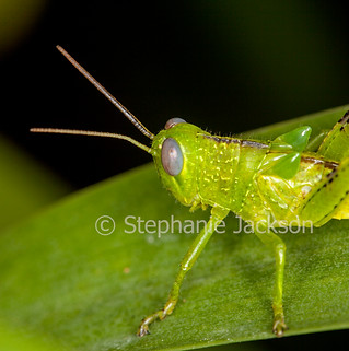 Close-up of green grasshopper - IMG 6838