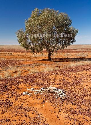 Solitary tree on arid Australian outback plains - IMG 8659