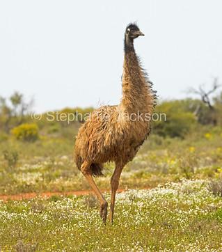 Emu among wildflowers in outback Australia - IMG 0653