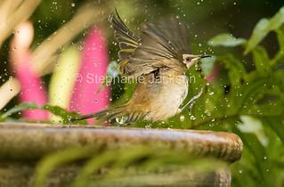 Brown honeyeater, Lichmera indistincta at bird bath - IMG 0070