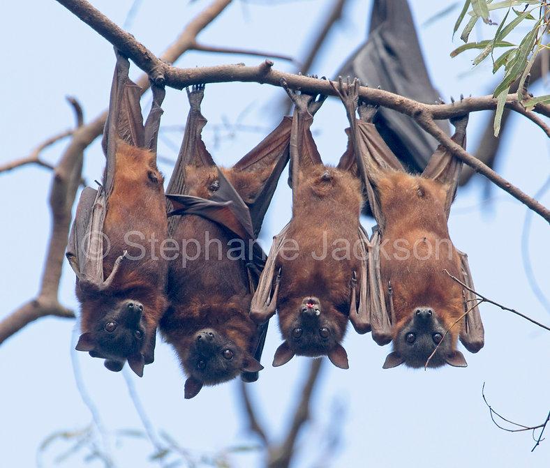 Fruit_bats_flying_foxes_MG_1626.jpg