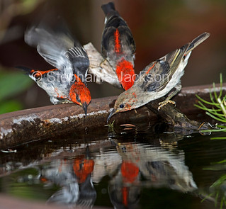 Australian scarlet honeyeaters at a garden bird bath - IMG 0775A