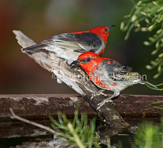 Australian scarlet honeyeaters at a garden bird bath - IMG 0813