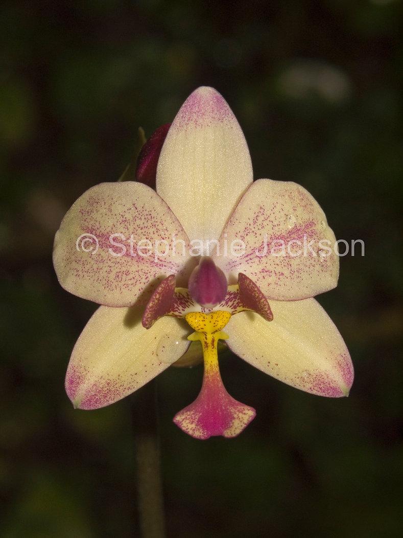 Spathoglottis plicata - ground orchid D4