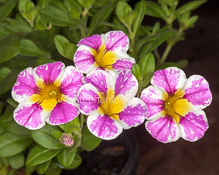 Pink and white flowers of Calibrachoa 'Candy Crush - IMG 9062A