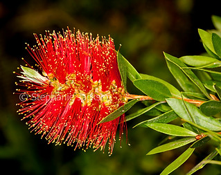 Red flower of Callistemon citrinus cultivar / bottlebrush - IMG 8248