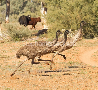 Emus running in outback NSW Australia - IMG 8808A