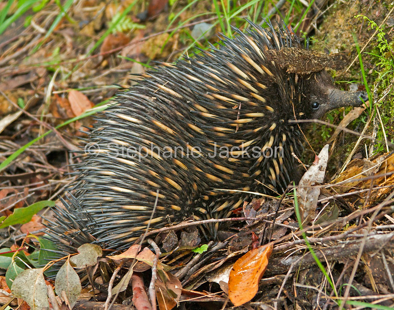 Echidna_in_the_wild_IMG_8276.jpg
