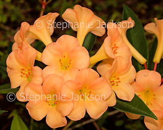 Flowers of tropical Vireya Rhododendron 'Just Peachy' - IMG D638E
