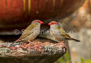Red-browed finches, Neochmia temporalis at bird bath - IMG 3364
