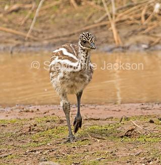 Emu chick beside outback river in Australia - IMG 0779