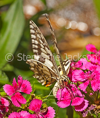 Butterfly feeding on dianthus flowers - IMG 7617A