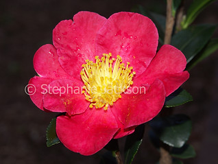 Red flower of Camellia sasanqua 'Yuletide' - IMG D169