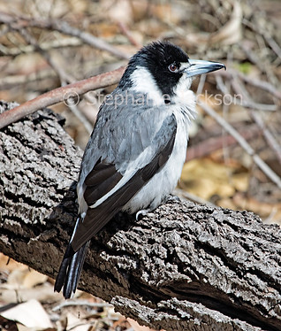 Grey butcherbird, Cracticus torquatus - IMG 8542A