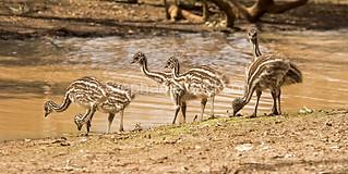 Emu chicks beside water in the Australian outback - IMG 0734