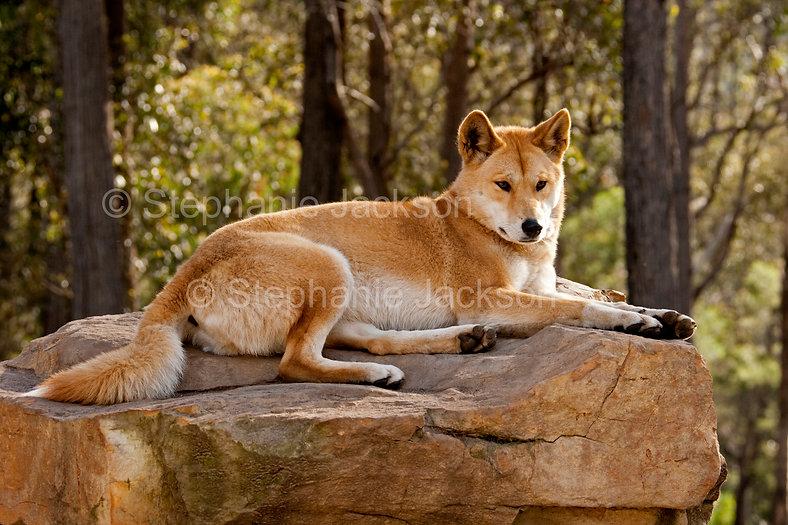 Dingo on rock_MG_0099.jpg