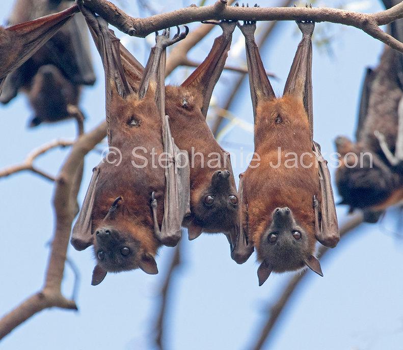 Fruit_bats_flying_foxes_MG_1646.jpg